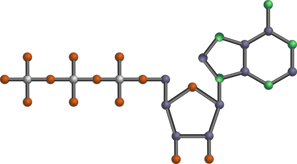 ATP molécula metabolismo
