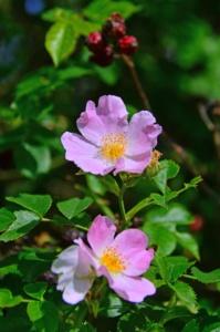 Plantas rosa mosqueta